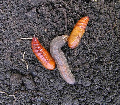 cutworms
